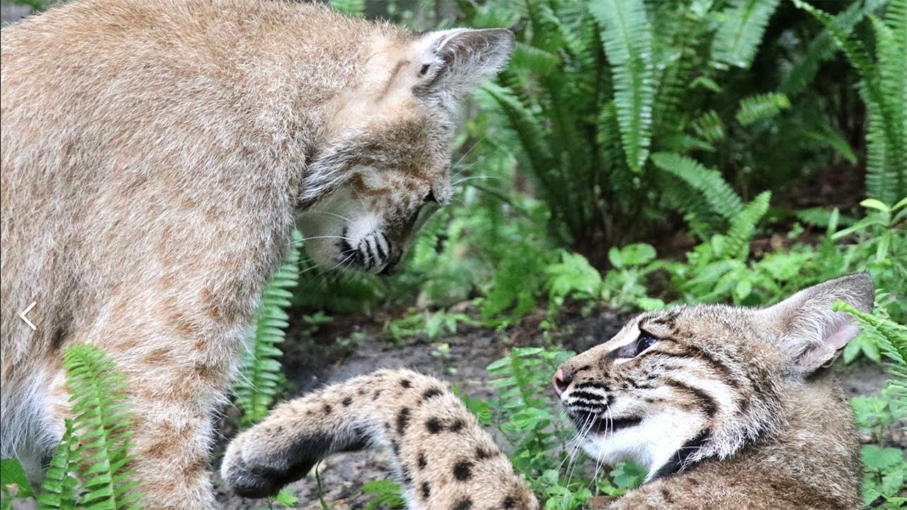 Two Bobcats Become Best Friends