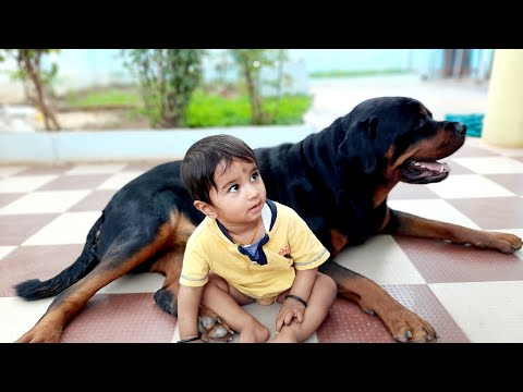Rottweiler is a very good family dog.well trained rottweiler dog.