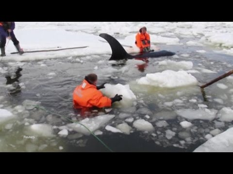 Rescuers Swim In Frigid Water to Free Orcas