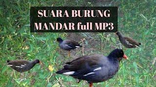 Suara Burung Peruk Mandar Batu Dan Pelan
