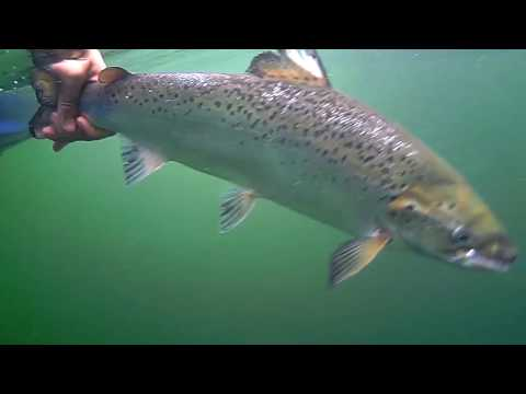 Underwater salmon trolling Lake Champlain