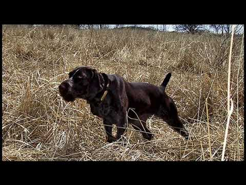 "Gun Dog Magazine Breed Profile ""German Wirehaired Pointer"""