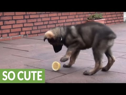 Puppy totally baffled by lemon, can't handle it