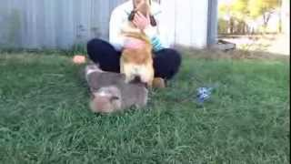 Akc Pembroke Welsh Corgi Puppies 10 27 2013