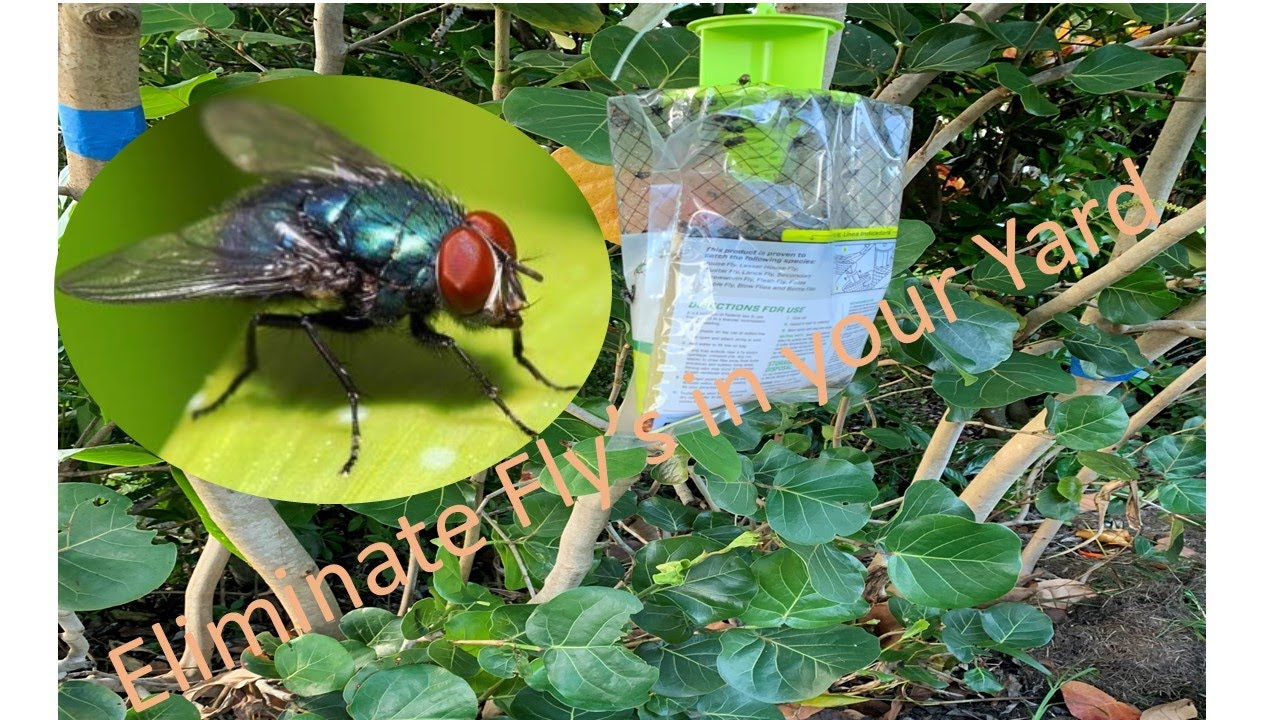 How to Get Rid of Black Flies DIY Eliminate Black Flies In ...