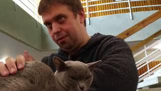 Европейская бурма: рассказ владельца кошки
