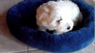 Cute Maltipoo Puppy - My First Day Home!