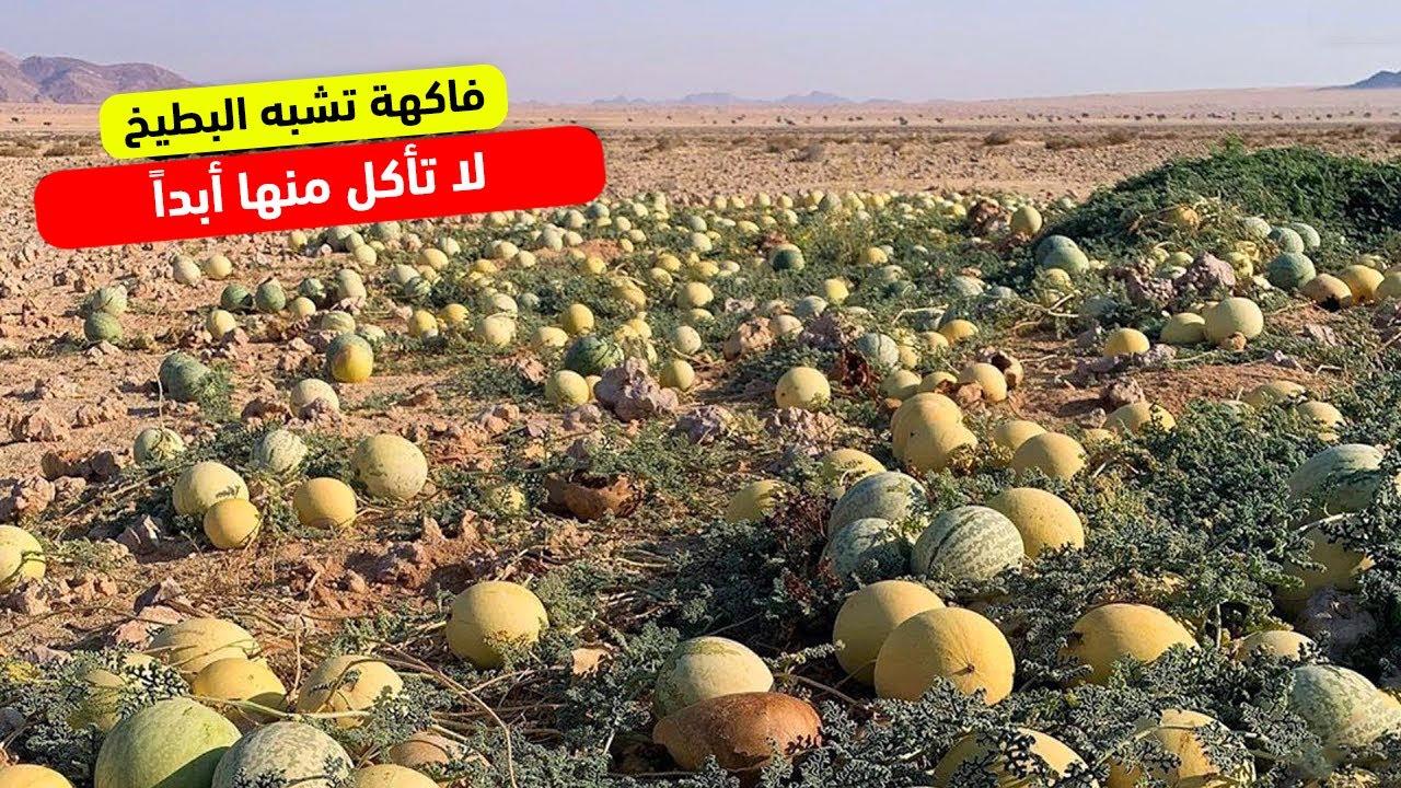 تحذير اذا رأيت فاكهة تشبه البطيخ في الصحراء.. لا تأكل منها أبداً !!