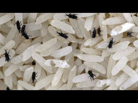How To Clean Rice From Bugs // Best Home Tips For Rice & Pulses.