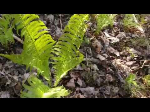 Growing ostrich ferns (fiddleheads) for food!