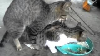 Video porno felino termina en gresca