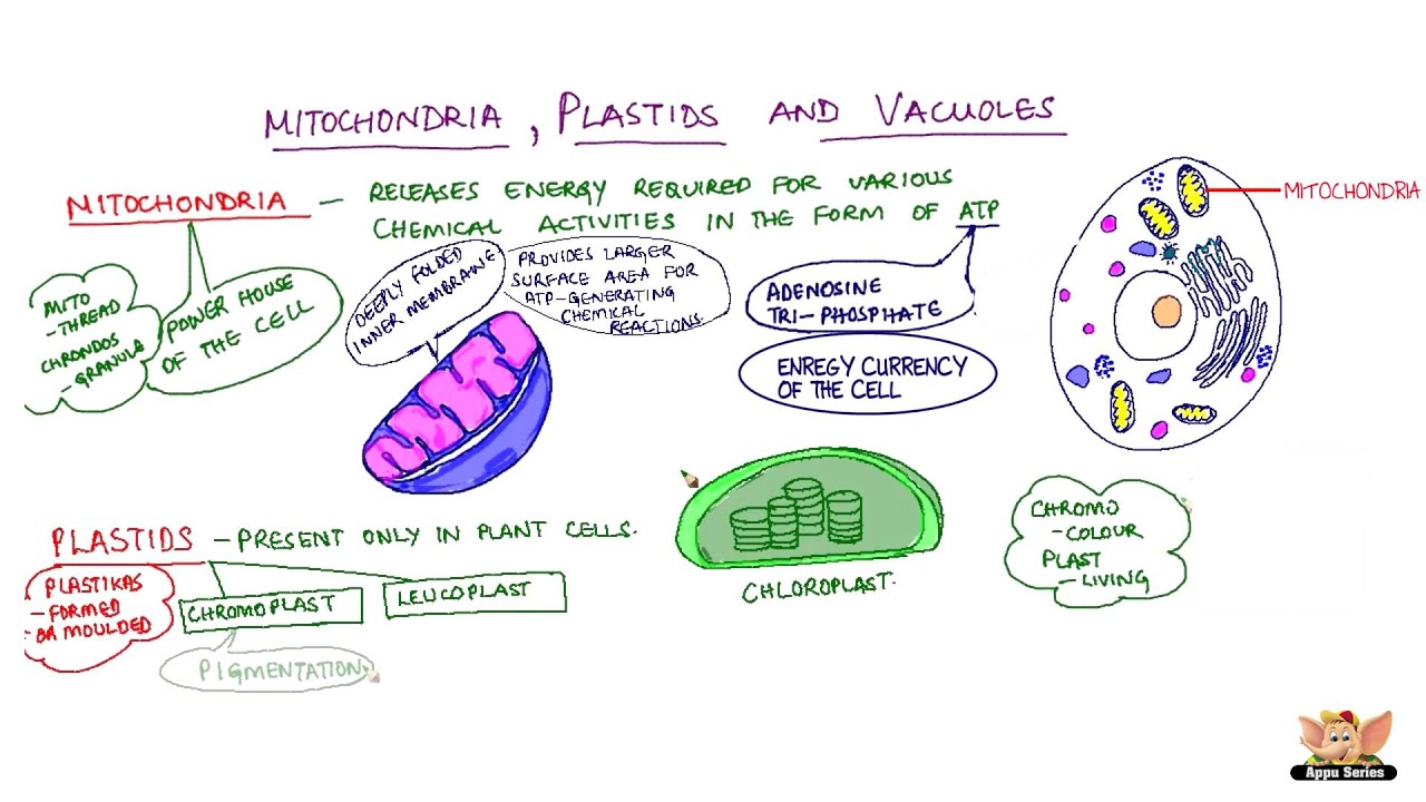 Plastids diagram in hindi electrical work wiring diagram mitochondria plastids and vacuoles youtube rh youtube com labeled plastids mitochondria and chloroplast diagram ccuart Choice Image