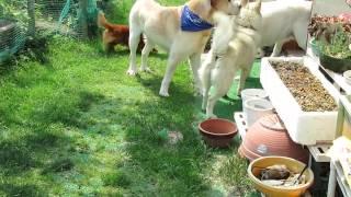 今日の主役はミックス犬のコロちゃん、 外飼いというのでケージよりは外...