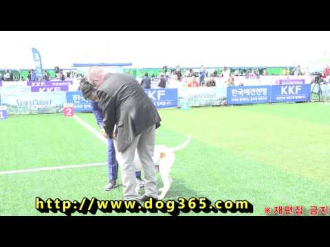 2016.04.11 KKF Dog Show - Bracco Italiano