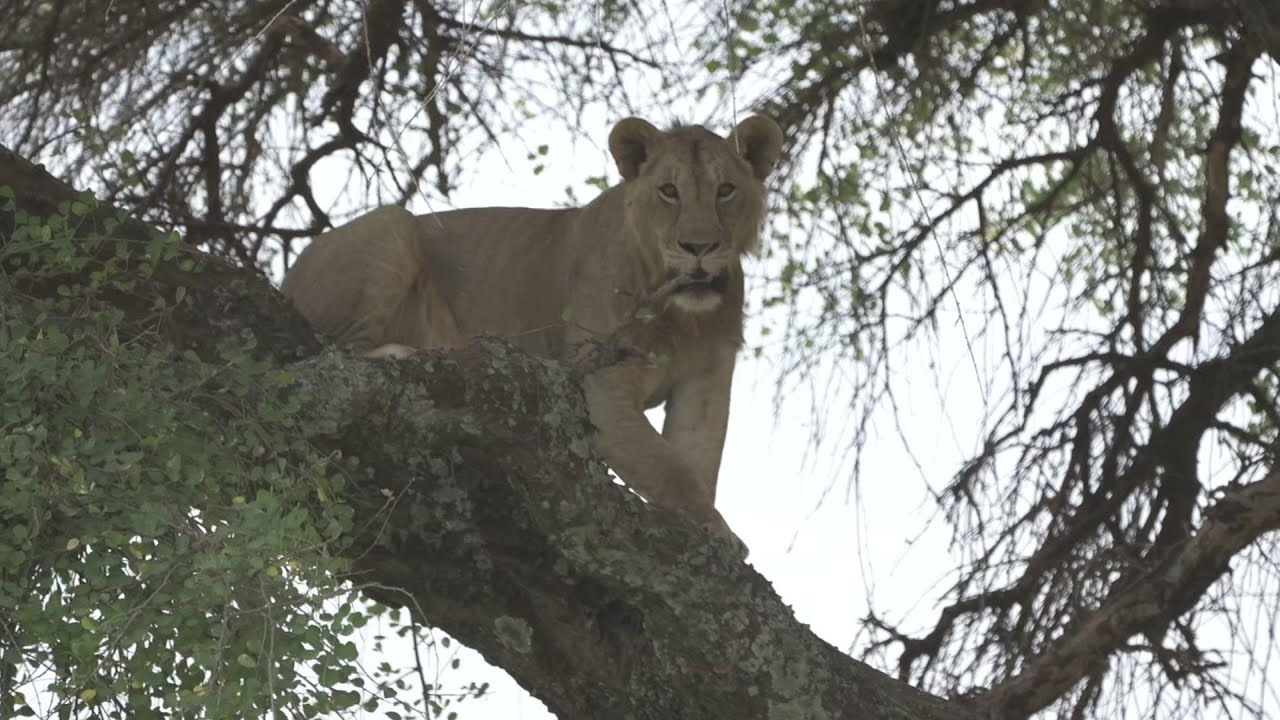 What Can Be Saved? How to live alongside lions
