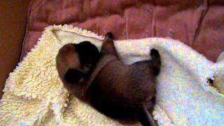 Pug X Pomeranian Puppies 2 Weeks Old.