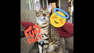 10 things you NEED to know before getting a Bengal cat