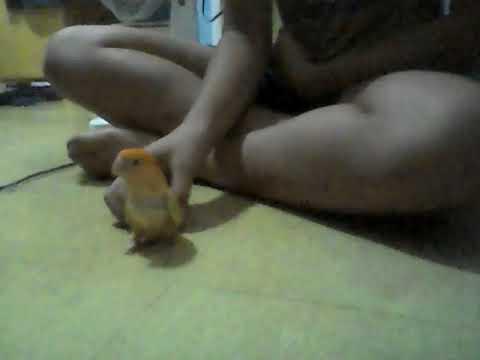 my lovebird's training