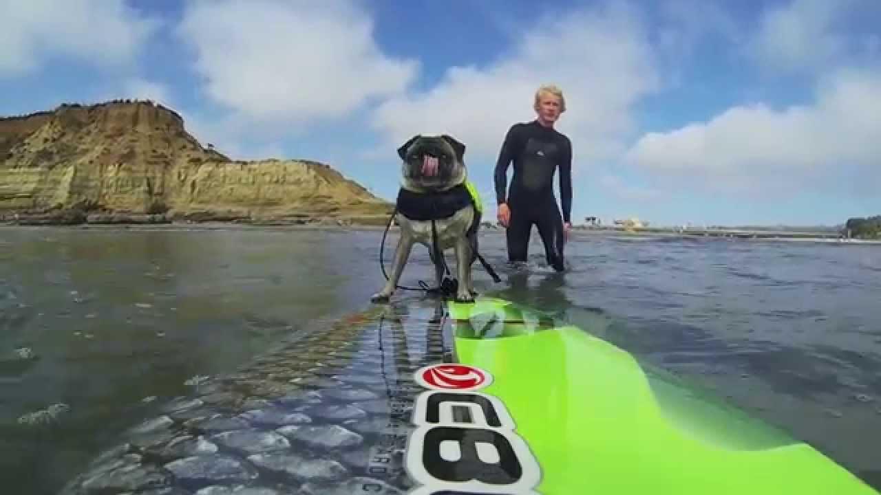 Brandy The Pug Surfing YouTube - Brandy the award winning surfing pug