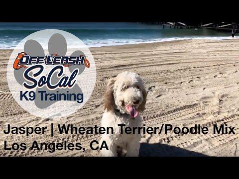 Jasper   Wheaten Terrier/Poodle Mix   Los Angeles, CA