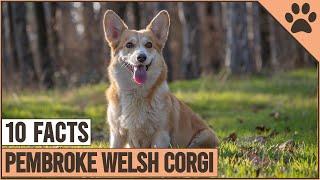 Pembroke Welsh Corgi  Top 10 Facts | Dog World