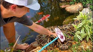 saving-priceless-koi-from-giant-snake