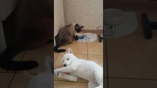 Первые правила для щенка сиба ину (шиба ину)