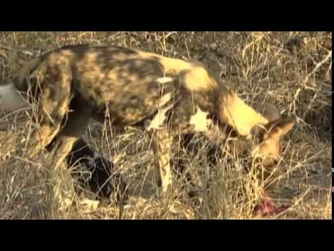 Animals Planet + Wild Dogs Biting Back