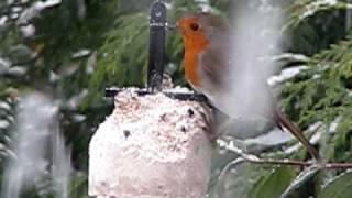 Robin in my Winter Bird Garden ~ January snow 2010