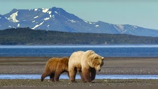 Grizzly Hunts For Clams - Wild Alaska - BBC