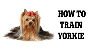 how to crate train a yorkie at night