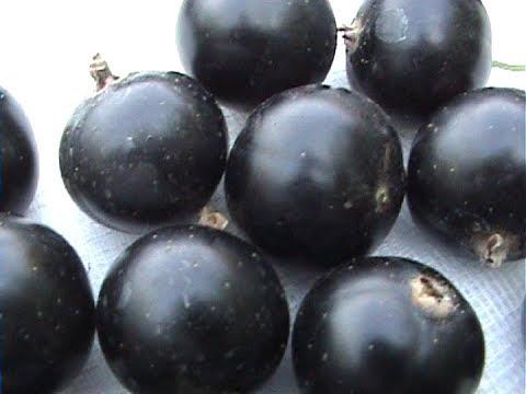 Как вырастить черную смородину размером  больше вишни