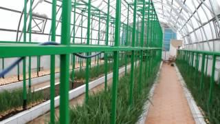 Выгонка зеленного лука в теплице новое видео(Выгонка лука пера. Зимняя многопрофильная теплица. Выращивание помидор, огурцов, клубники, цветов в теплице., 2015-01-30T07:06:54.000Z)