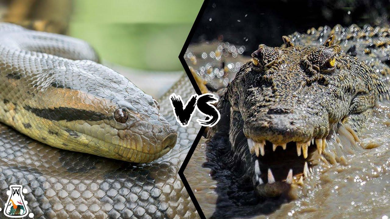 Download ANACONDA VS CROCODILE - Who is King of the Reptiles?