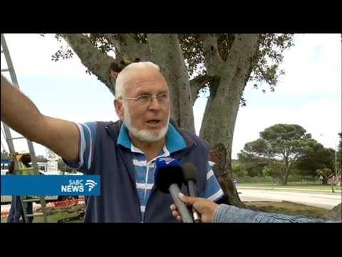 Moreton Bay Fig tree getting a nip to ensure it lives on