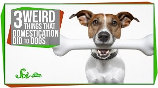 3 Weird Things That Domestication Did To Dogs