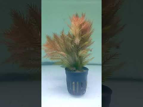 Proserpinaca palustris red. Venta online