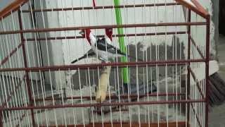 Fêmea de galo de campina batendo em um macho ate ele cantar part.2