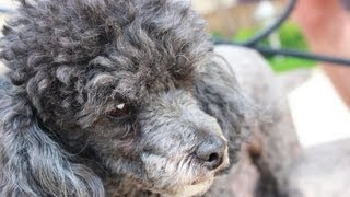 Toy Poodle and Bone | Той Пудель и Кость