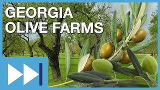Georgia Olive Farms