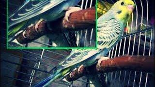 жердочки для ВОЛНИСТОГО попугая. Александрийского. Ожереловых. Как выбрать. Почистить