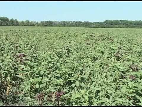 Амарант агротехника технология выращивания