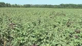 видео Выращивание амаранта из семян