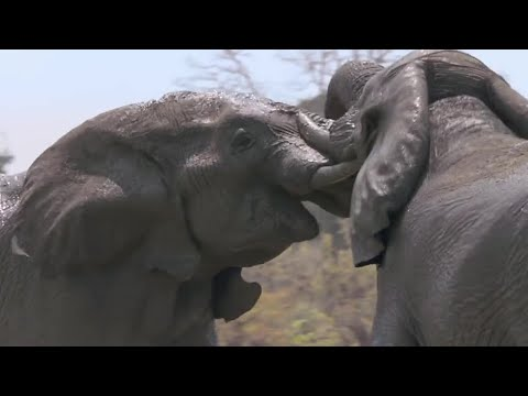 Elephants Fight Over Water - Nature's Great Events - BBC