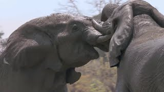 Elephants Fight Over Water | Nature
