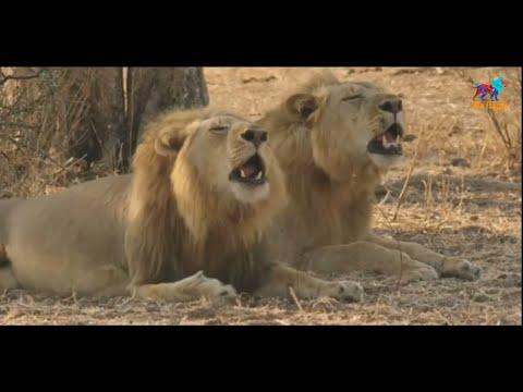 Wild Fauna / Львы Африка / Часть -1
