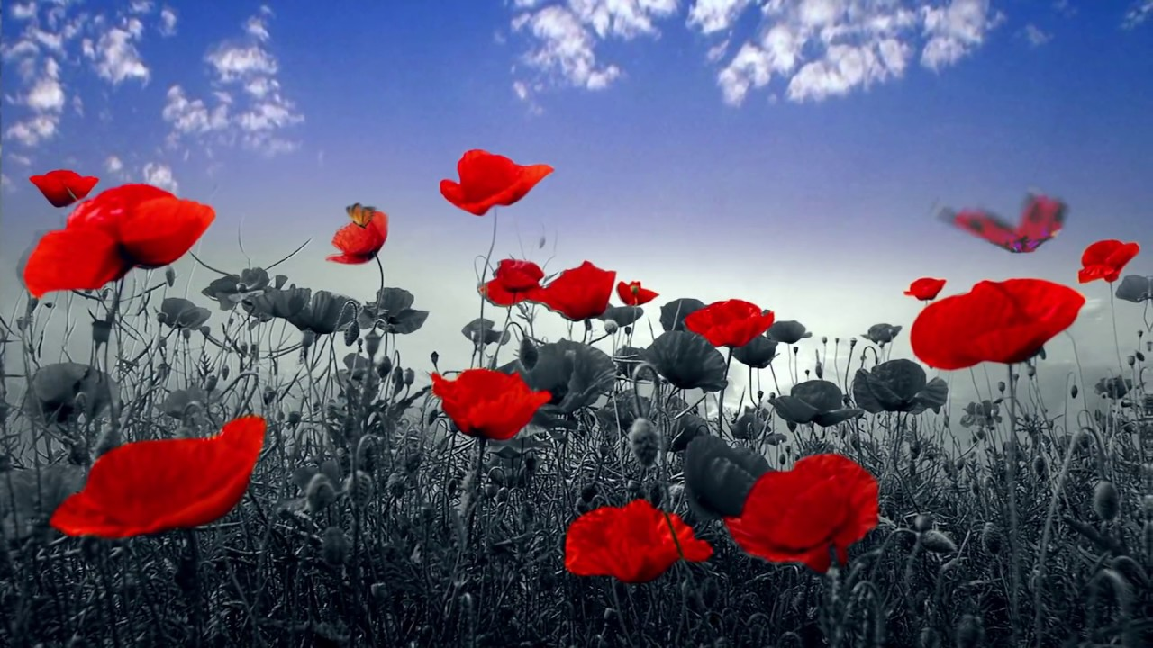 Animated Butterflies Transform Red Poppies Nature After Effects