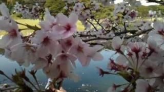 Цветущая сакура(, 2010-04-11T15:23:16.000Z)