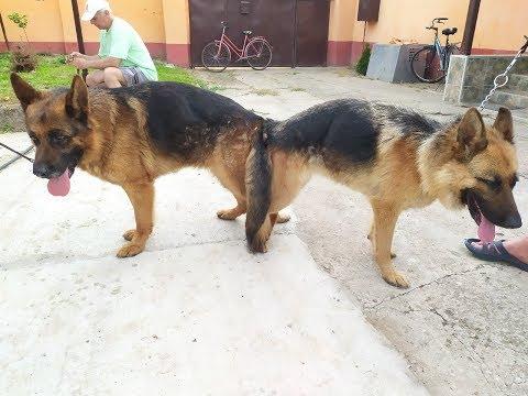 German Shepherd Dogs - Planned Litter/Вязка  немецких овчарок
