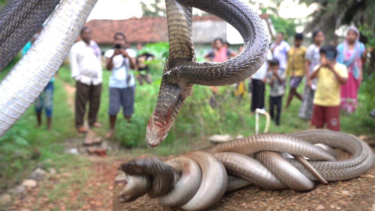 पुराने नाग-नागिन की अदभुत लड़ाई देख जीवन धन्य हो गया,बच गई मंद बुद्धि बच्चे की जान|Dangerous 2 Cobra